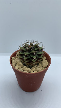 Gymnocalycium Mihanovichii - #17 - (3.4cm)