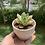 Thumbnail: Echeveria in White Pot