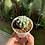 Thumbnail: Echinopsis Tuffy