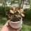 Thumbnail: Kalanchoe in white pot