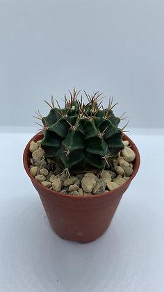 Gymnocalycium Mihanovichii - #15 - (4.1cm)