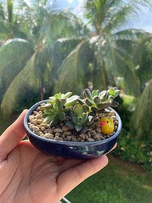 Succulent in Blue Glazed Pot (4.2cm x 10cm)