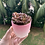Thumbnail: Sedeveria Red Ruby Cluster (potted)