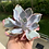 Thumbnail: Echeveria Afterglow (barerooted)