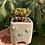 Thumbnail: Aeonium Sedifolium (Potted)