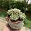 Thumbnail: Echeveria Pinwheel Cluster