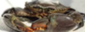 mud crab good 2.jpg