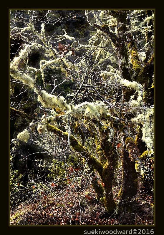 f• W-Galice - treemoss_0747