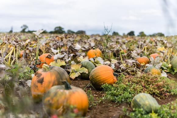 Pumpkins 2020 high resolution (1 of 66).
