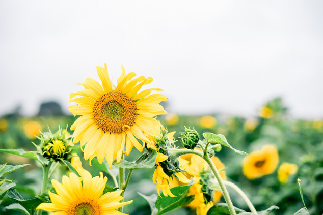 Floyd Family Mini Sunflowers (34 of 37).