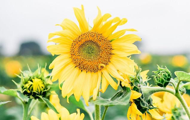 Floyd%20Family%20Mini%20Sunflowers%20(34%20of%2037)_edited.jpg