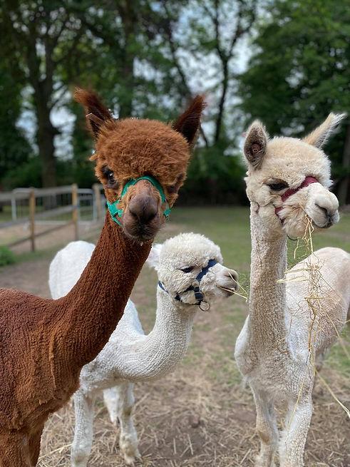 new alpacas.jpg