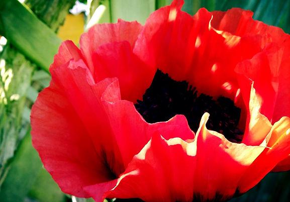 Geöffnete Blüte eines roten Klatschmohnes