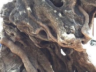 Baumstamm eines 500jährigen Olivenbaumes