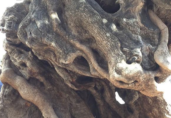 Knorriger Stamm eines sehr alten Olivenbaumes