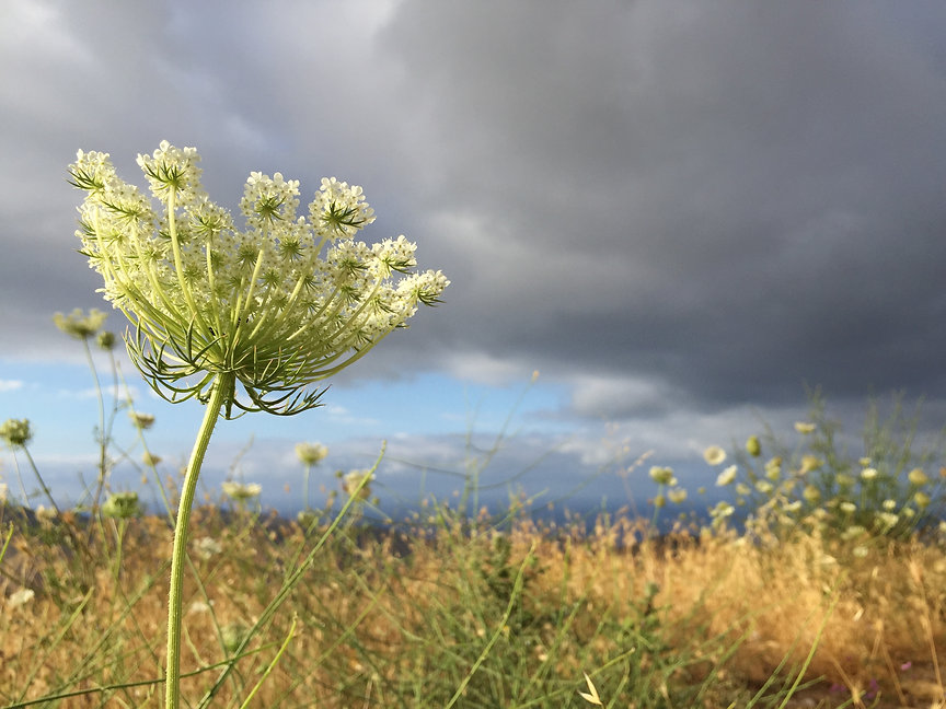 Feldblume im Wind vor wolkenverhangenem Himmel