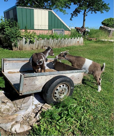 Goat Winner Caught in the Act