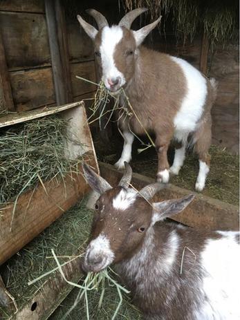 Goat Winner Best Animal Friends