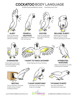 Cockatoo Body Language - web