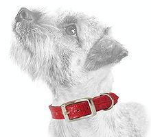 Terrier_Light_red-croc_edit.jpg