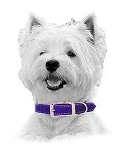 Westie_Purple 2.jpg