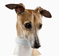 italian-greyhound_WBG.jpg