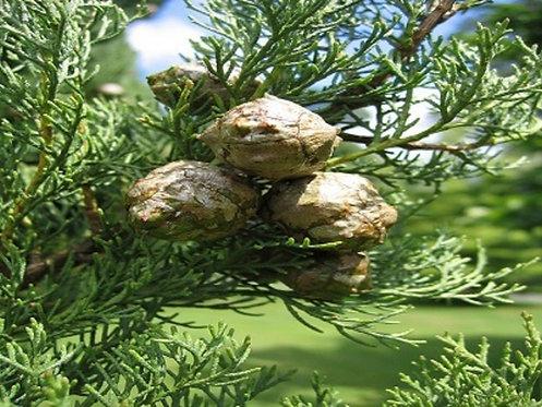 Cipres Bio 10 ml