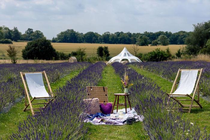 Lavender farm and camping relaxing shot at Finchingfield Camping