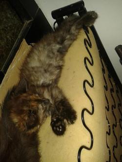 Kotě Vanesa
