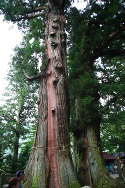 逆杉(さかさすぎ)