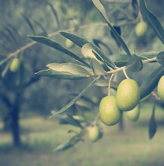 The ancient olive grove of Amfissa.jpg