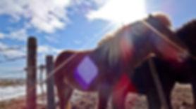 Islandzkie konie i język angielski