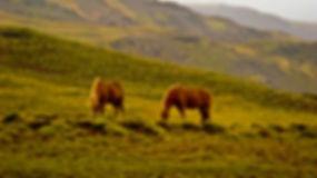 Zwiedzanie Islandii konną
