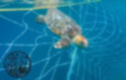 turtle caught in the shark nets.jpg