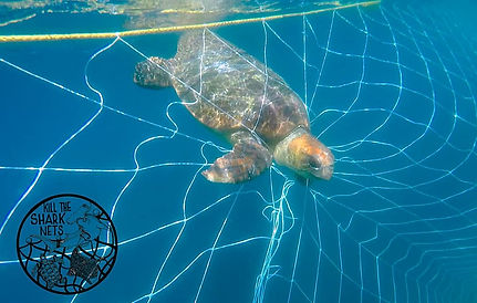 turtle caught in the shark nets.jpg