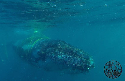 humpback baby caught in nets.jpg