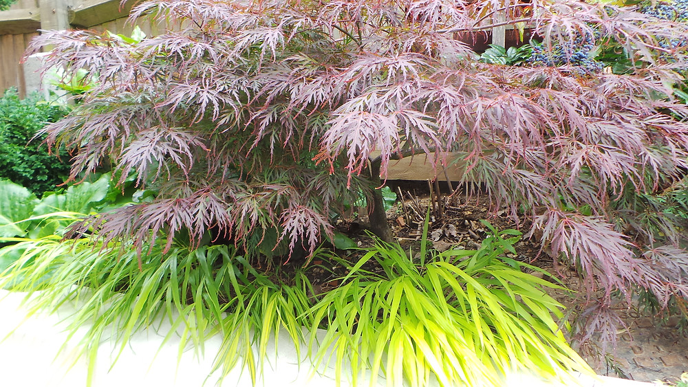 Acer palmatum with ornamental grass Hakonechloa make a great contrast in colour