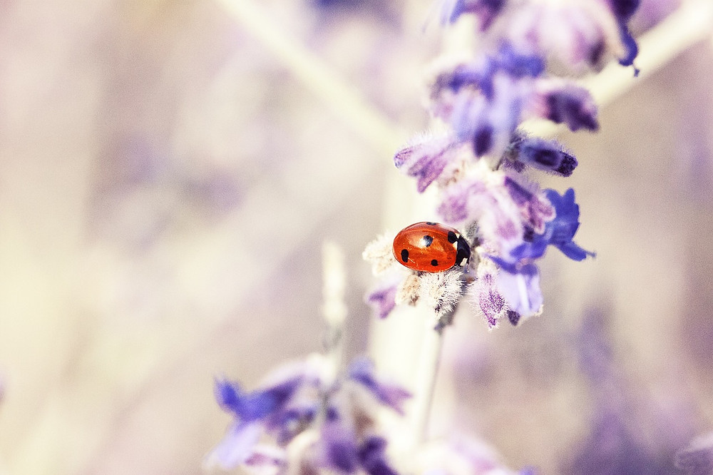 Ladybird on lavender flower