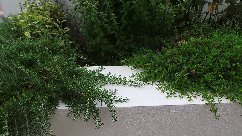 Herbs rosemary and thyme growing over a  white garden wall