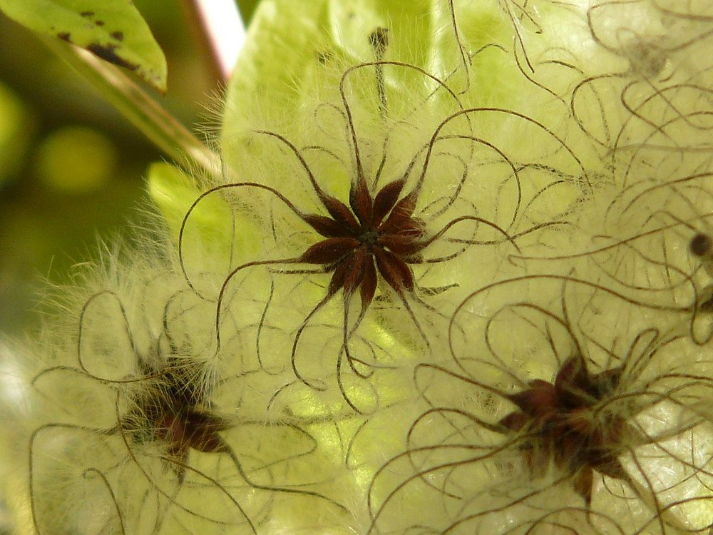 fluffy seedheads of clematis in a garden setting