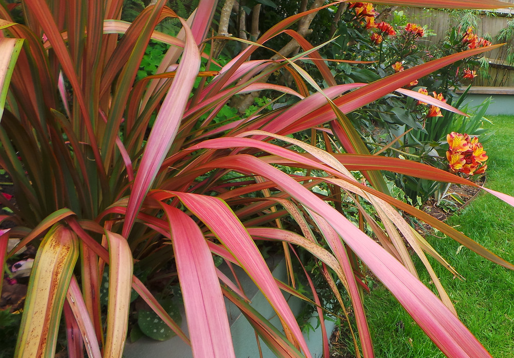 Phormium 'Jester' and Alstroemeria 'Indian Summer' in the garden