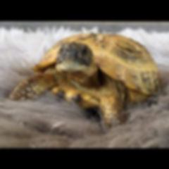 Come meet Lil Torts our Russian Land Tor