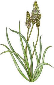 - Focus - le psyllium, cette plante toute douce pour les intestins !