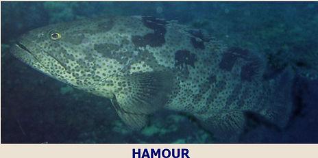 Hamoor.JPG
