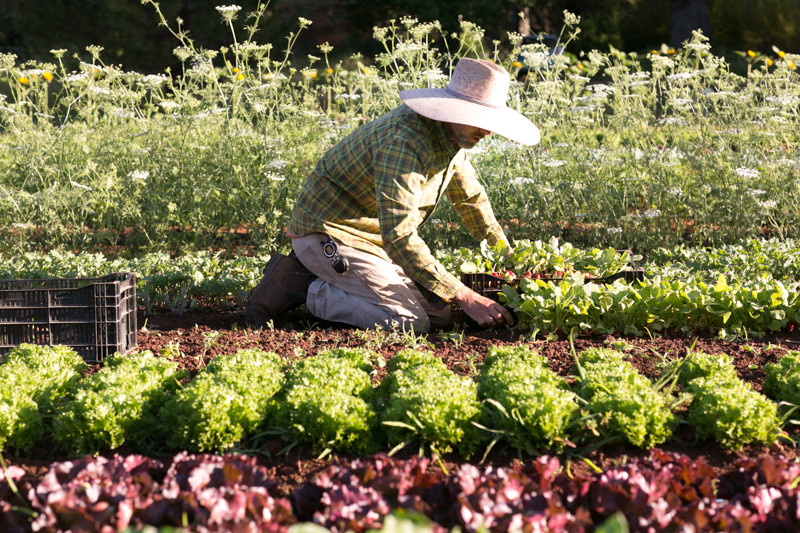 Organic_Farmer_Steven_Eisenhut_Harvesting_Radishes_Stones_Throw_Farm_CA_Organic_Farm.jpg