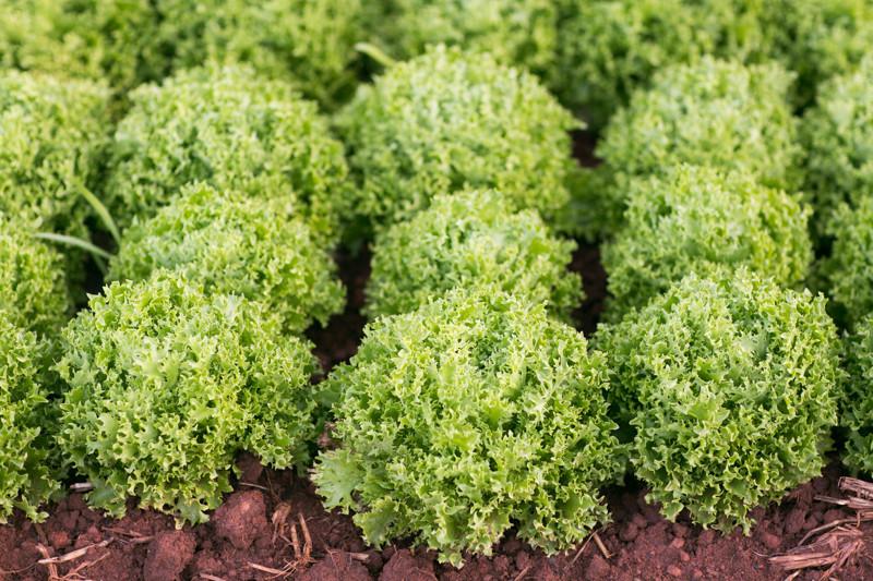 Lettuce_In_Field_Stones_Throw_Farm_CA_Organic_Farm.jpg