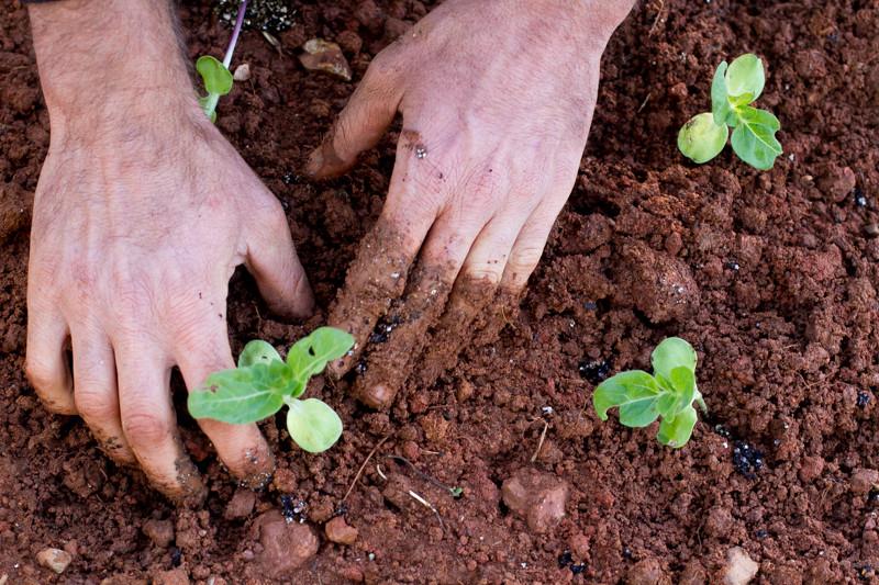 stones_throw_farm_CA_Organic_Farm_Sierra_Foothills_Planting_Sunflower_Starts.jpg