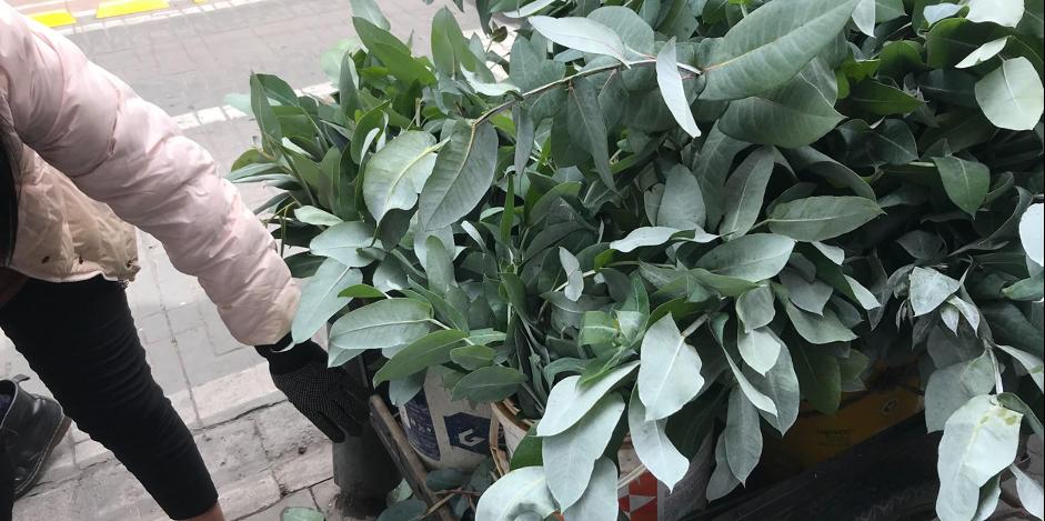 Liz Bella revisa y alista los eucaliptos para la venta.