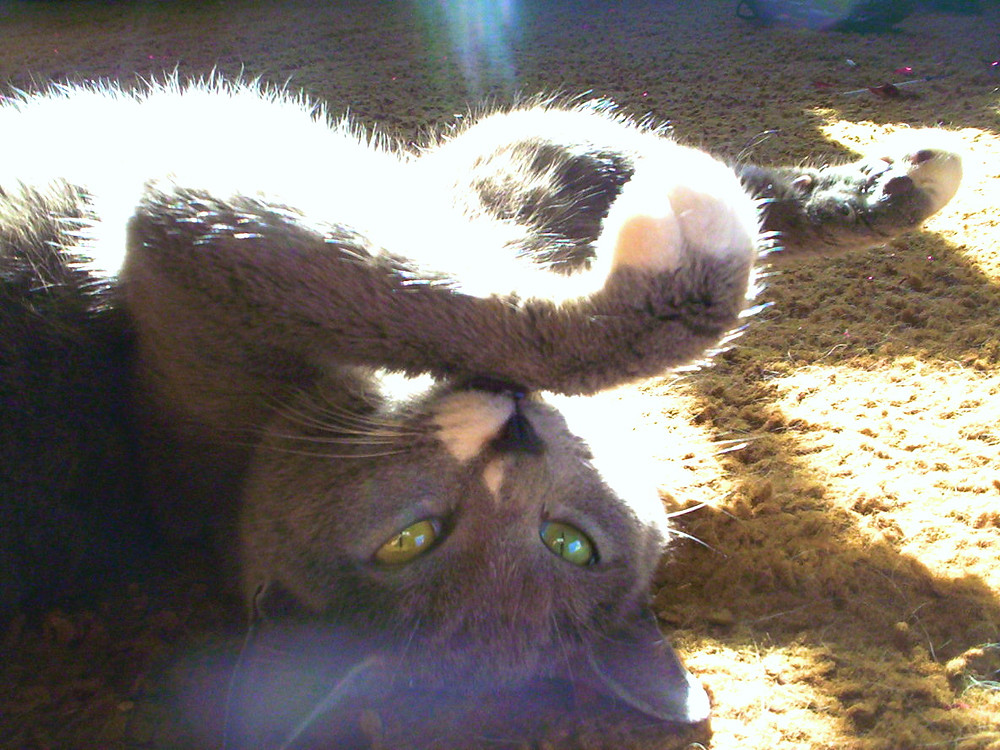 A grey cat with vibrant green eyes rolled over on the ground with her paws up and looking at the camera.