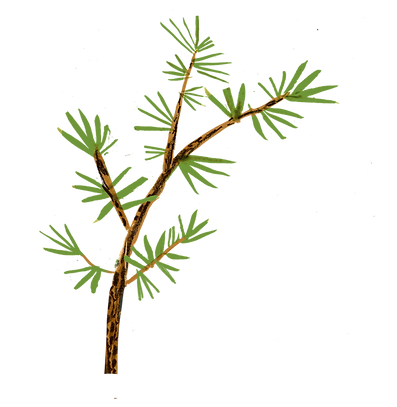 Website_pineArch.png